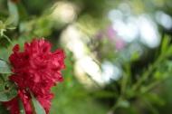superbe rhododendron rouge Lamas du Parc, Château de Courcelles-sous-Moyencourt