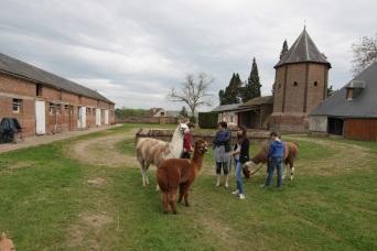 lamas prêts à promener Lamas du Parc, Château de Courcelles-sous-Moyencourt