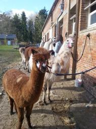 tous au brossage lamas du parc, Château de Courcelles-sous-Moyencourt