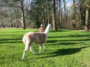 Machu en balade lamas du parc, Château de Courcelles-sous-Moyencourt