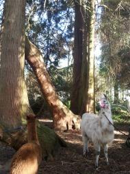 Hercule dans l'arboretum lamas du parc, Château de Courcelles-sous-Moyencourt
