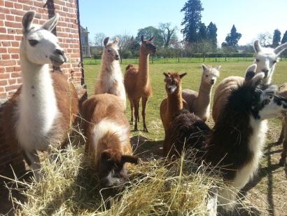 troupeau de lamas du parc, Château de Courcelles-sous-Moyencourt