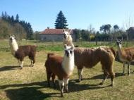 notre jeune Zonie et ses damas lamas du parc, Château de Courcelles-sous-Moyencourt