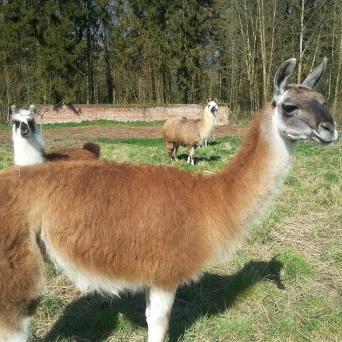 femelle lamas du parc, Château de Courcelles-sous-Moyencourt