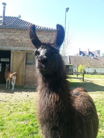 femelle lama noire lamas du parc, Château de Courcelles-sous-Moyencourt