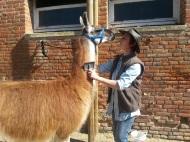 Atelier brossage et récupération de laine