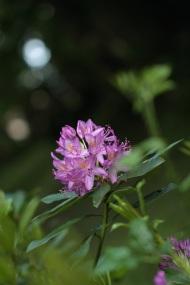rhododendron violet Lamas du Parc, Château de Courcelles-sous-Moyencourt
