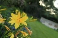 fleurs jaunes dans le parc Lamas du Parc, Château de Courcelles-sous-Moyencourt