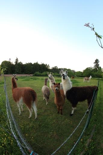 lamas en fin de soirée Lamas du Parc, Château de Courcelles-sous-Moyencourt