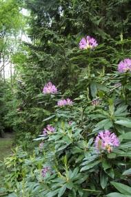 fleurs de rhododendron violettes Lamas du Parc, Château de Courcelles-sous-Moyencourt