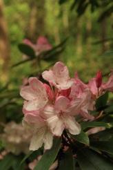 fleur rose de rhododendron Lamas du Parc, Château de Courcelles-sous-Moyencourt