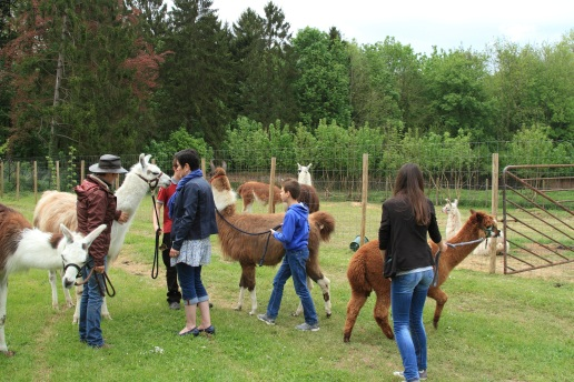 prêts à aller promener Lamas du Parc, Château de Courcelles-sous-Moyencourt