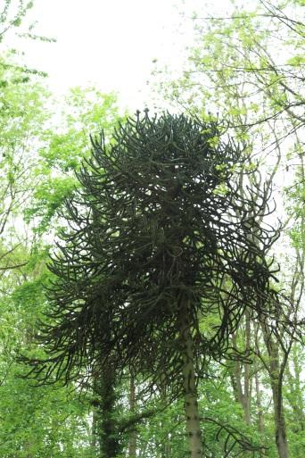 l'arbre singe Lamas du Parc, Château de Courcelles-sous-Moyencourt