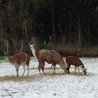 en hiver lamas du parc, Château de Courcelles-sous-Moyencourt