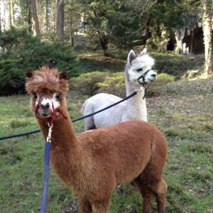 photos courcelles et lamas 2014 2015 202